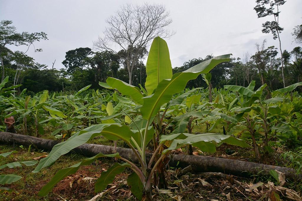 24-INMD-Plantacao_de_bananeiras