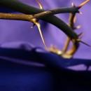coroa-de-espinhos